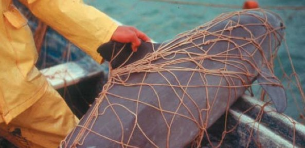 Vaquita drowned in shark gillnet